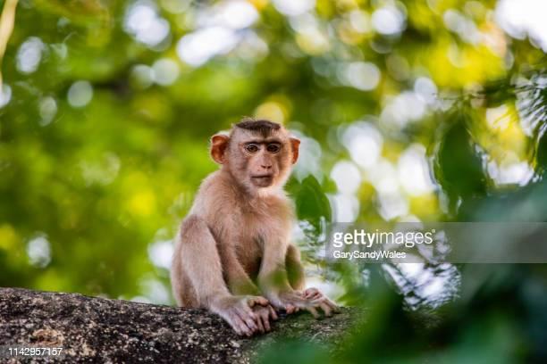 baby macaque monkey - kambodscha stock-fotos und bilder
