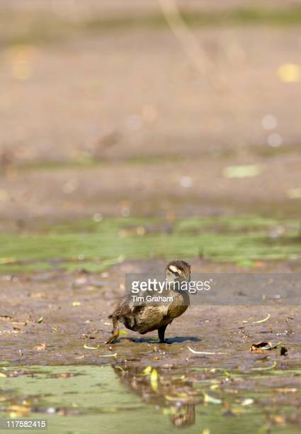 Baby mallard duckling in muddy swamp on a pond in Swinbrook The Cotswolds Oxfordshire UK