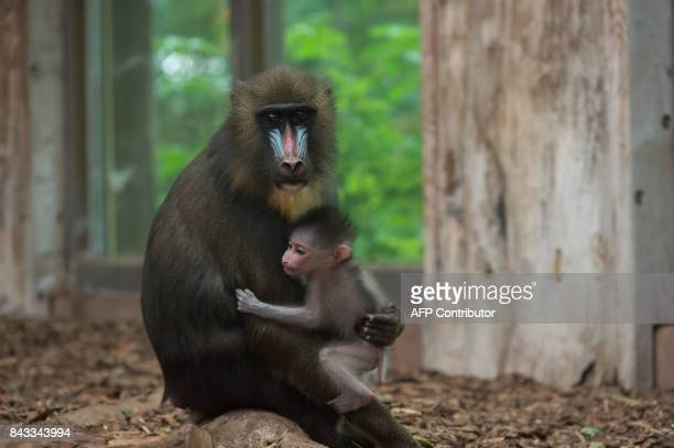 A baby Mandrill sits on the lap of his mother in Magdeburg eastern Germany on September 6 2017 / AFP PHOTO / ZB AND dpa / KlausDietmar Gabbert /...