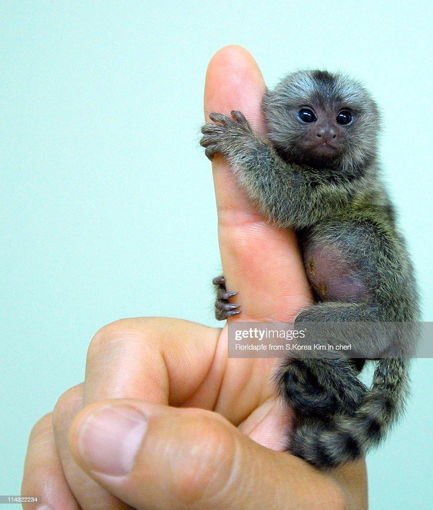 Baby marmoset : Stock Photo