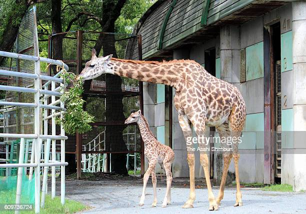 A baby Masai giraffe stands next to its mother Koharu at the Kumamoto Zoo and Botanical Gardens on September 14 2016 in Kumamoto Japan The zoo has...