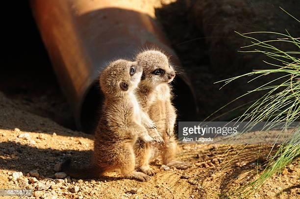 Baby Meerkats.