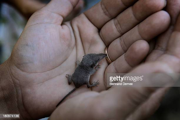 baby mole in a hand - mole animal stock photos and pictures