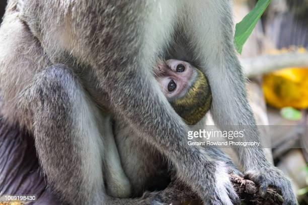Baby Monkey, Africa