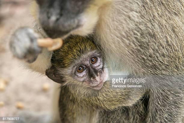Baby monkey breastfeeding