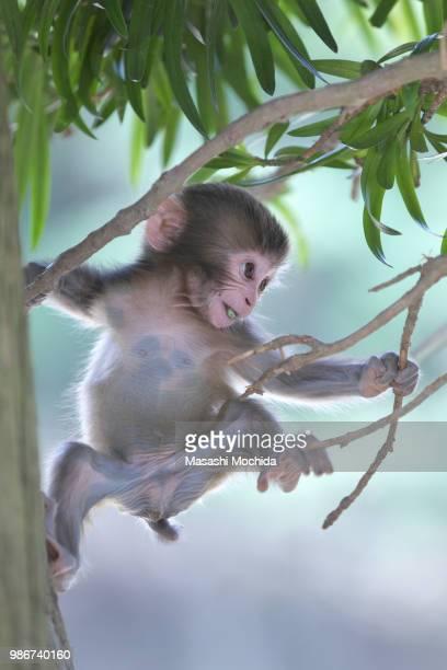 a baby monkey climbing at awaji monkey center in awaji, japan. - jeune animal photos et images de collection