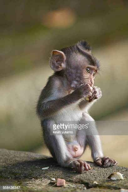 baby monkey eating - ubud district stock pictures, royalty-free photos & images