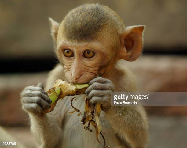 A baby monkey eats bananas skins at the Phra Prang Sam Yot temple in the backround on February 16 about 160 kilometers north of Bangkok in Lopburi...