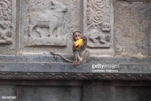 a baby monkey in annamalaiyar temple, tiruvannamalai, india - argenberg fotografías e imágenes de stock