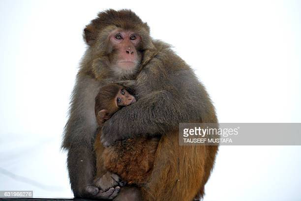 TOPSHOT A baby monkey is cuddled by its mother to keep warm as the subzero temperatures freeze life during a fresh snowfall in Tangmarg about 34 kms...