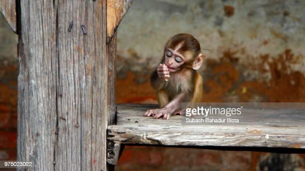 baby monkey - subash bahadur bista fotografías e imágenes de stock