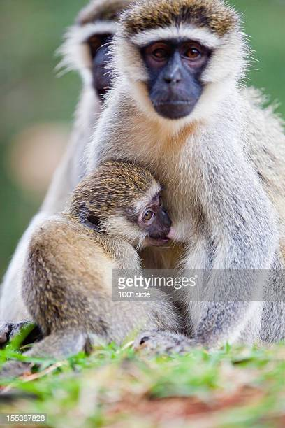 baby monkey suckling - family - monkey paw stock photos and pictures