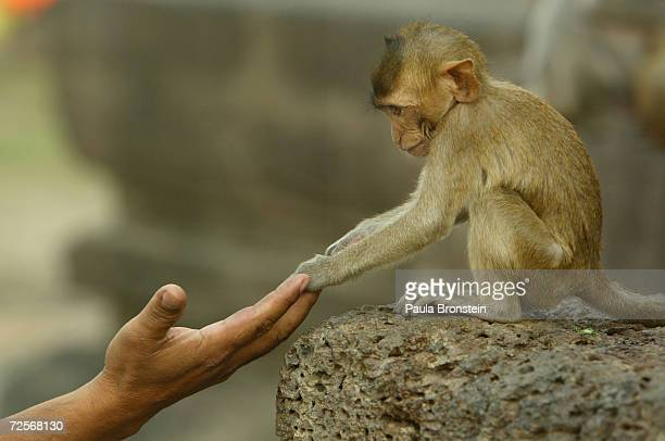 A baby monkey touches the hand of a tourist visting the monkeys at the Phra Prang Sam Yot temple in the backround in Lobpuri February 16 2004 about...
