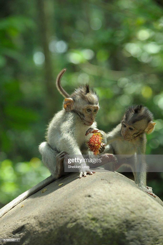 Baby monkeys playing : Stock Photo