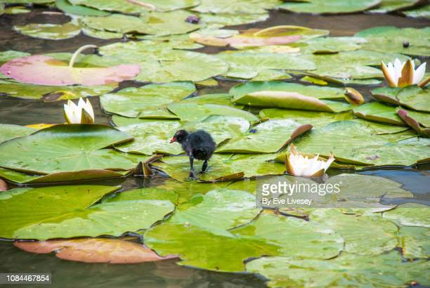baby moorhen - ugly baby stock photos and pictures