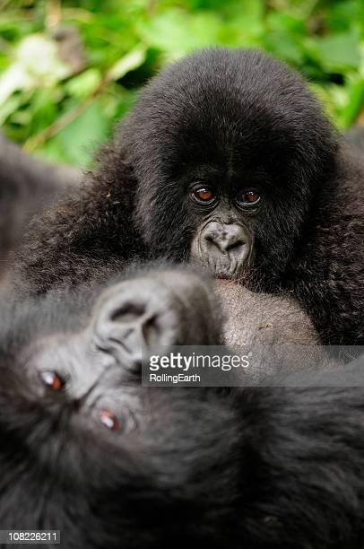 Baby Mountain Gorilla Breast Feeding