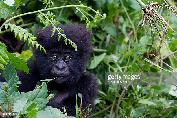 Baby mountain Gorilla, member of the Agashya family, is pictured in the Sabyinyo Mountains of Rwanda on December 27, 2014. Rwanda, well known for...