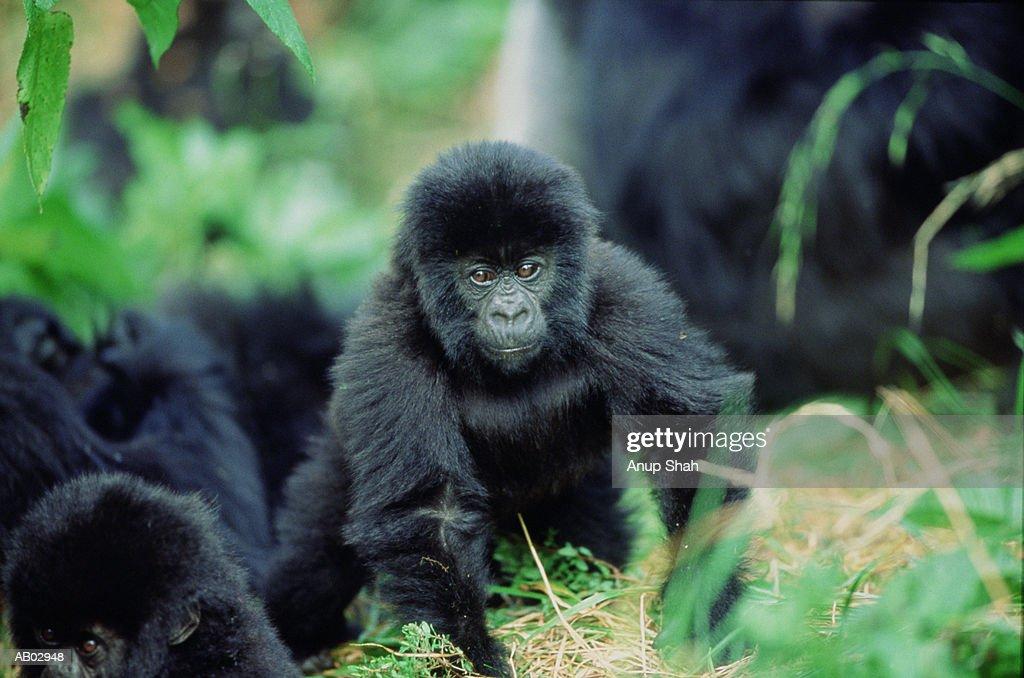 Baby Mountain gorilla (Gorilla gorilla beringei) : Foto de stock