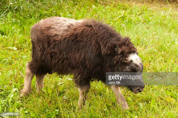 baby musk ox. - musk ox stock photos and pictures