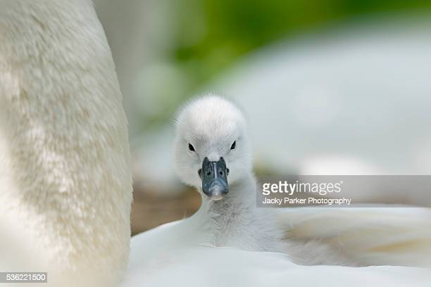 Baby Mute Swan Cygnet on the back of its mother