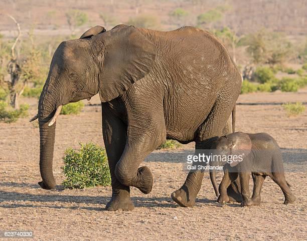 Baby Newborn Elephant with mother Elephant