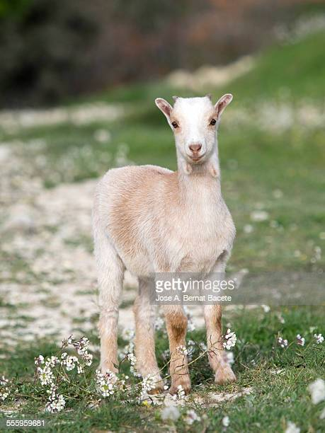 Baby of goat in the field