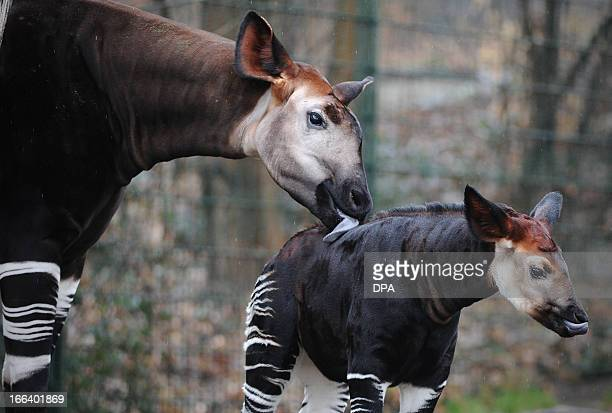Baby okapi Bashira stands next to her mother Batouri on April 12 2013 at the zoo in Berlin Bashira was born at the zoo on February 26 2013 AFP PHOTO...