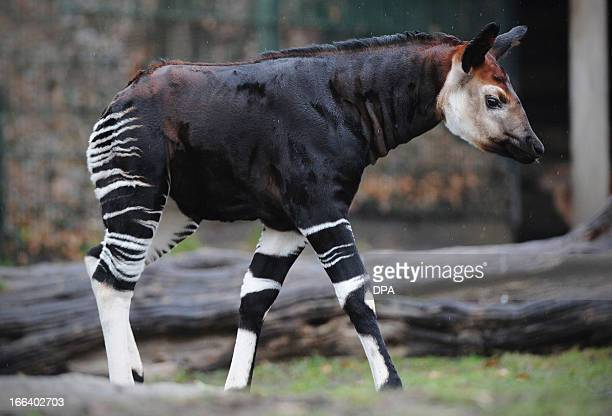 Baby okapi Bashira walks through her enclosure on April 12 2013 at the zoo in Berlin Bashira was born at the zoo on February 26 2013 AFP PHOTO /...