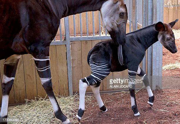 A baby okapi born on June 23 and named 'Mbuti' is pictured on July 12 2013 with its mother 'kamina' at the Beauval zoo in SaintAignan central France...