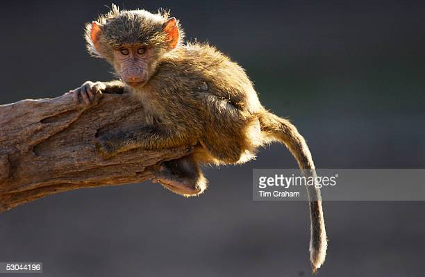 A baby Olive Baboon hanging on the end on a branch Grumeti Tanzania