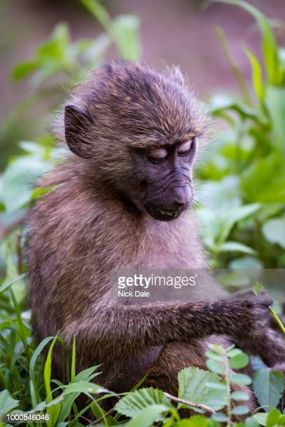 baby olive baboon studying leaf in paw - monkey paw stock photos and pictures