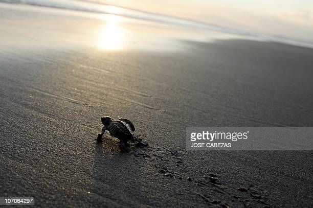 A baby olive ridley turtle makes its way to the water at San Diego Beach 40km south of San Salvador on November 202010 More than 1000 baby turtles...