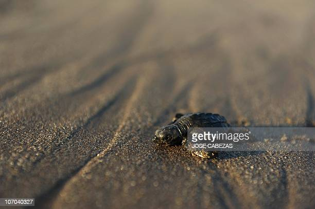 A baby olive ridley turtle rests on its way to the water at San Diego Beach 40km south of San Salvador on November 202010 More than 1000 baby turtles...