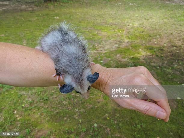 baby opossum standing on a person's arm - opossum americano foto e immagini stock