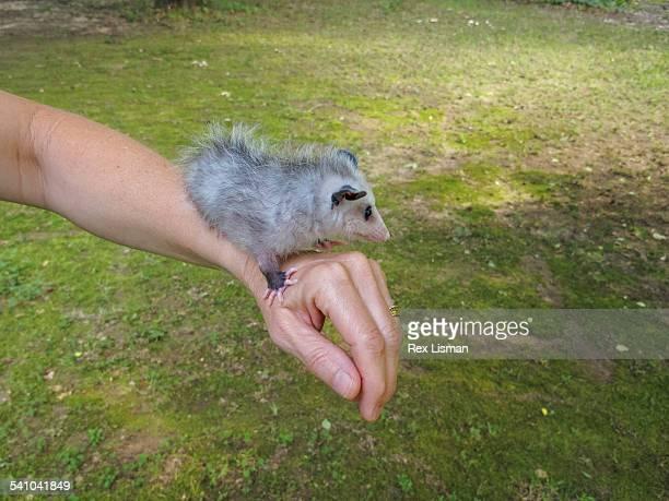 a baby opossum standing on a person's arm - opossum americano foto e immagini stock