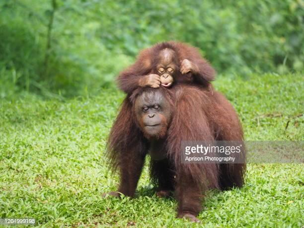baby orang utan and mother orang utan walking on land - especies amenazadas fotografías e imágenes de stock