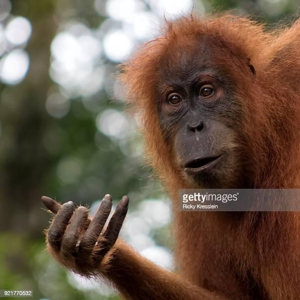 Baby Orangutan Hang Loose