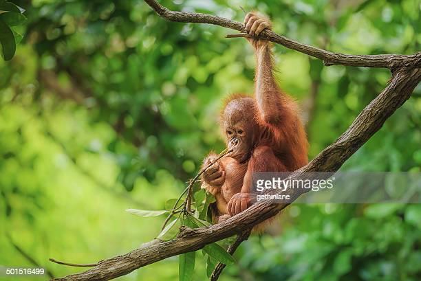 bebé orangután de borneo - malasia fotografías e imágenes de stock