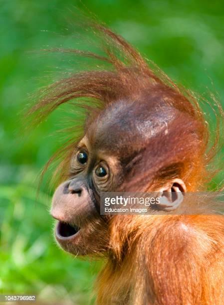 Baby Orangutan looks on in wonder.