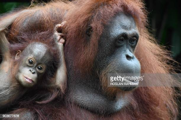 A baby orangutan named Khansa clings on its mother Anita in their enclosure at the Singapore Zoological Garden on January 11 2018 The Wildlife...