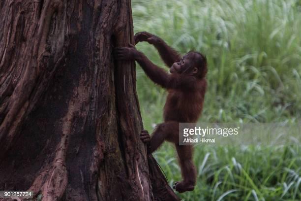 baby orangutan - threatened species stock photos and pictures