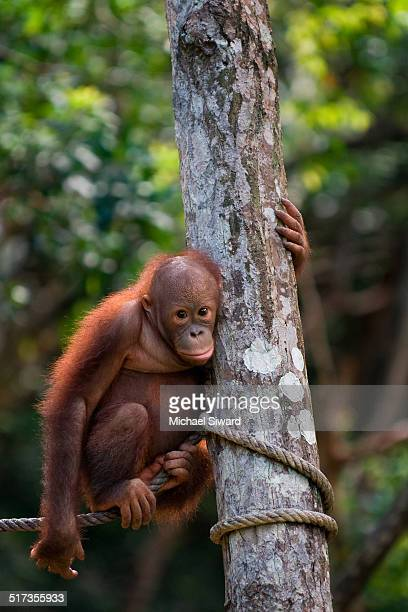 baby orangutan resting next to a tree - michael siward stock pictures, royalty-free photos & images