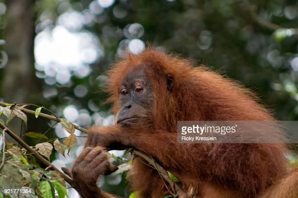 Baby Orangutan Resting
