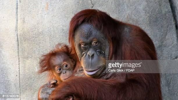 Baby orangutan with his mom