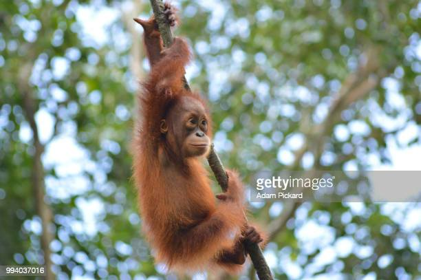 baby orangutang in the jungle in malaysia. - orang outan photos et images de collection
