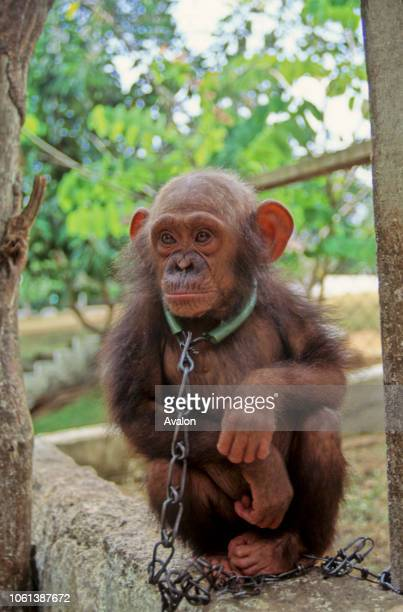 Baby orphaned Chimpanzee kept at Luna Park outside Yaounde Cameroon Date