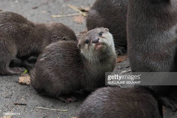 A baby otter looks on in its enclosure at the Zoo Parc of Beauval in SaintAignan Central France on October 29 2018