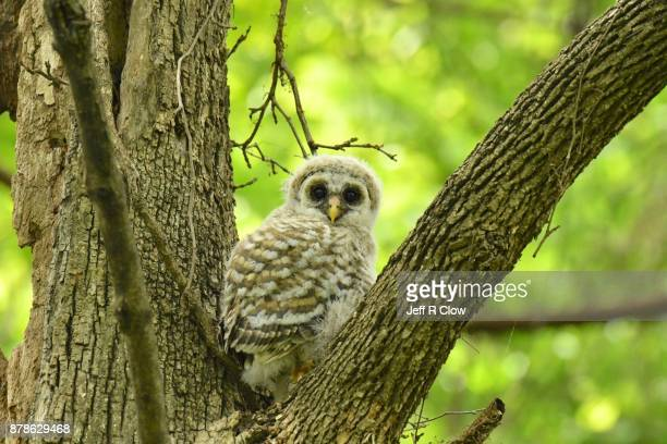 Baby owl in the tree 2