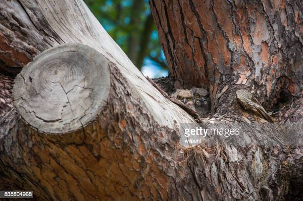 Baby Owls in old pine tree