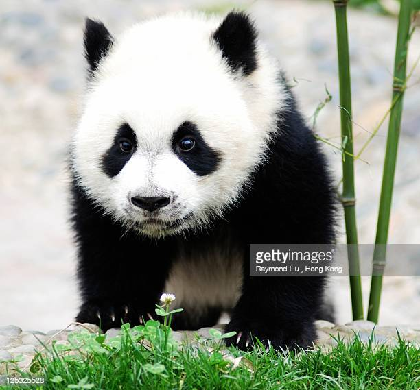 baby panda bear, china - panda animal stock photos and pictures